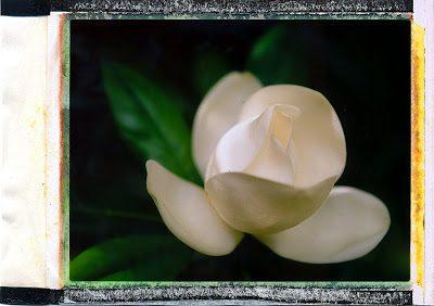 magnolia1-2507338