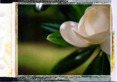 magnolia2-3365045