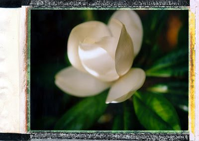 magnolia3-6307181