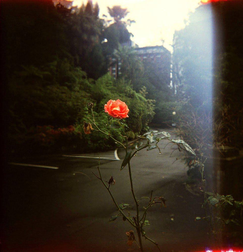 rosey-2252205
