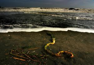 port-waikato-kelp+copy.jpg