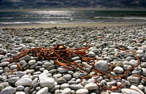 Beach Kelp